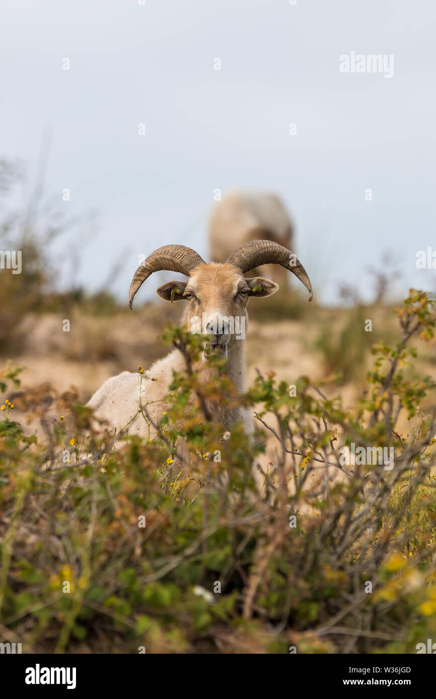 ancient free roaming drenthe heath sheep grazing in the dunes of The Hague's westduinpark natura 2000 coastal park - Stock Image