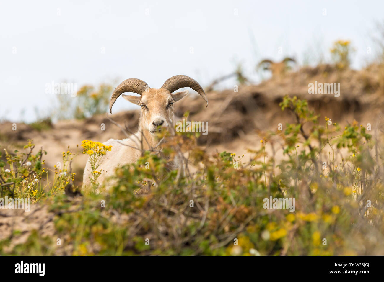 ancient free range drenth heath sheep grazing in the dunes of The Hague's westduinpark natura 2000 coastal park - Stock Image