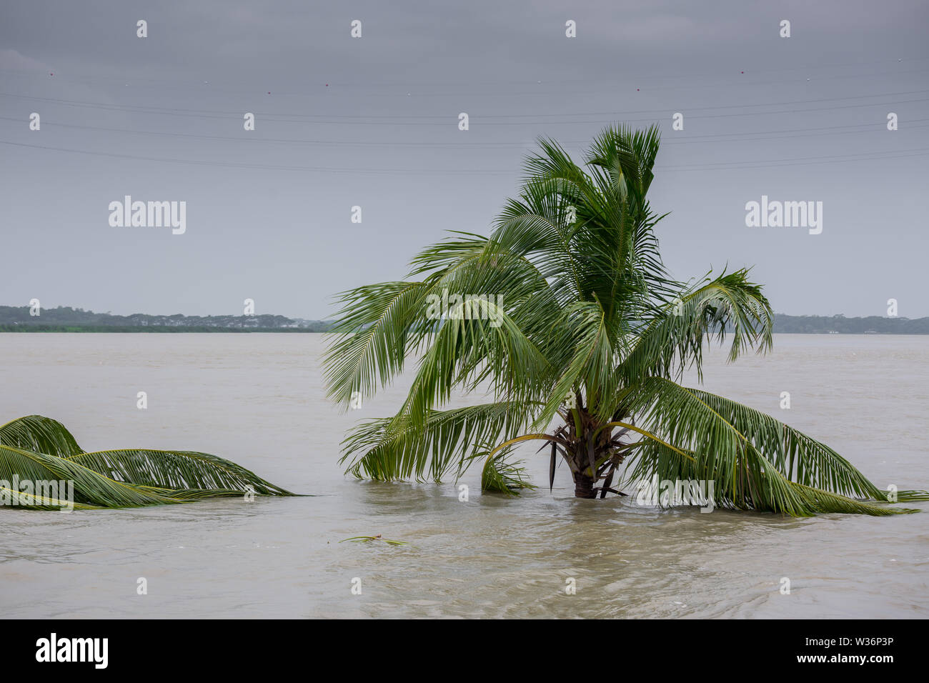 Bangladesh – June 27, 2015: A whole coconut tree is submerged in river, effect of massive river erosion at Rasulpur, Barisal District. - Stock Image