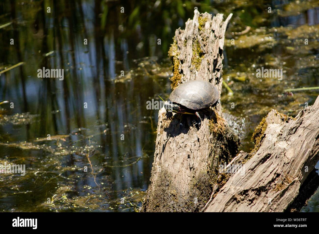 A painted turtle resting on a branch in water - Stock Image