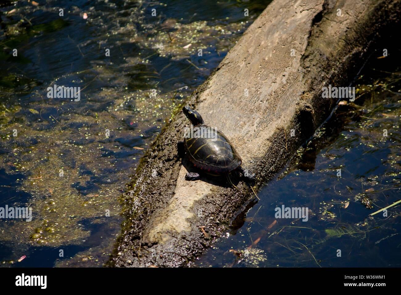 a closeup shot from a painted turtle resting on a branch in water - Stock Image