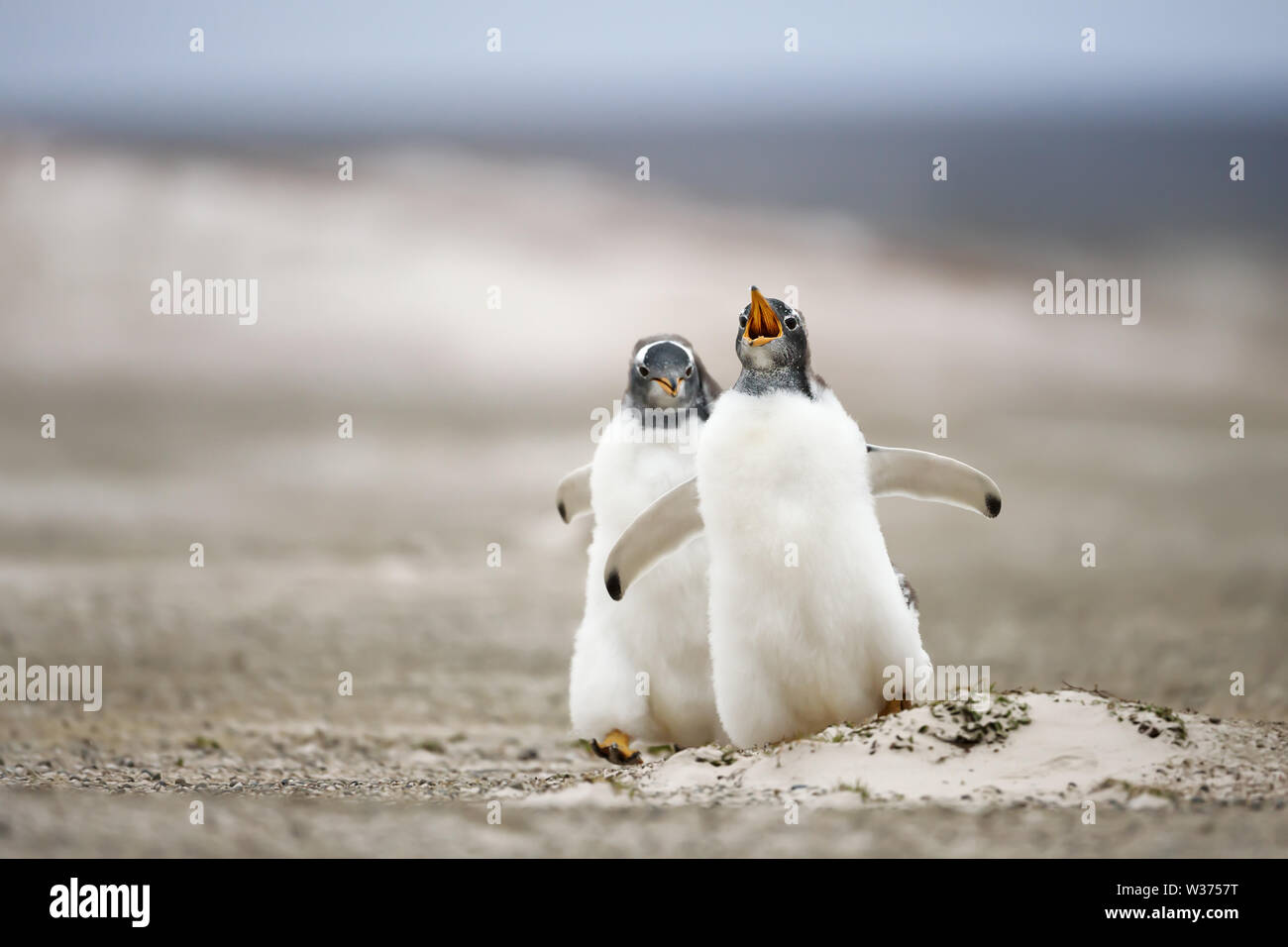 Close up of two young Gentoo penguins chasing each other, summer in the Falkland Islands. Stock Photo