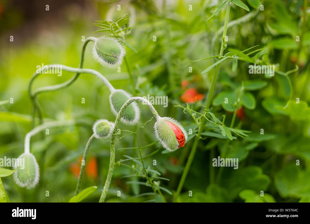 Close up of delicate poppy buds and green leaves - Stock Image