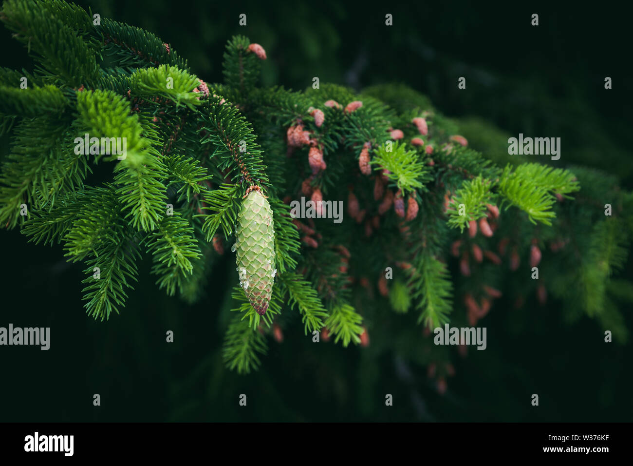Green spruce branch with needles and cone covered resin drops - Stock Image