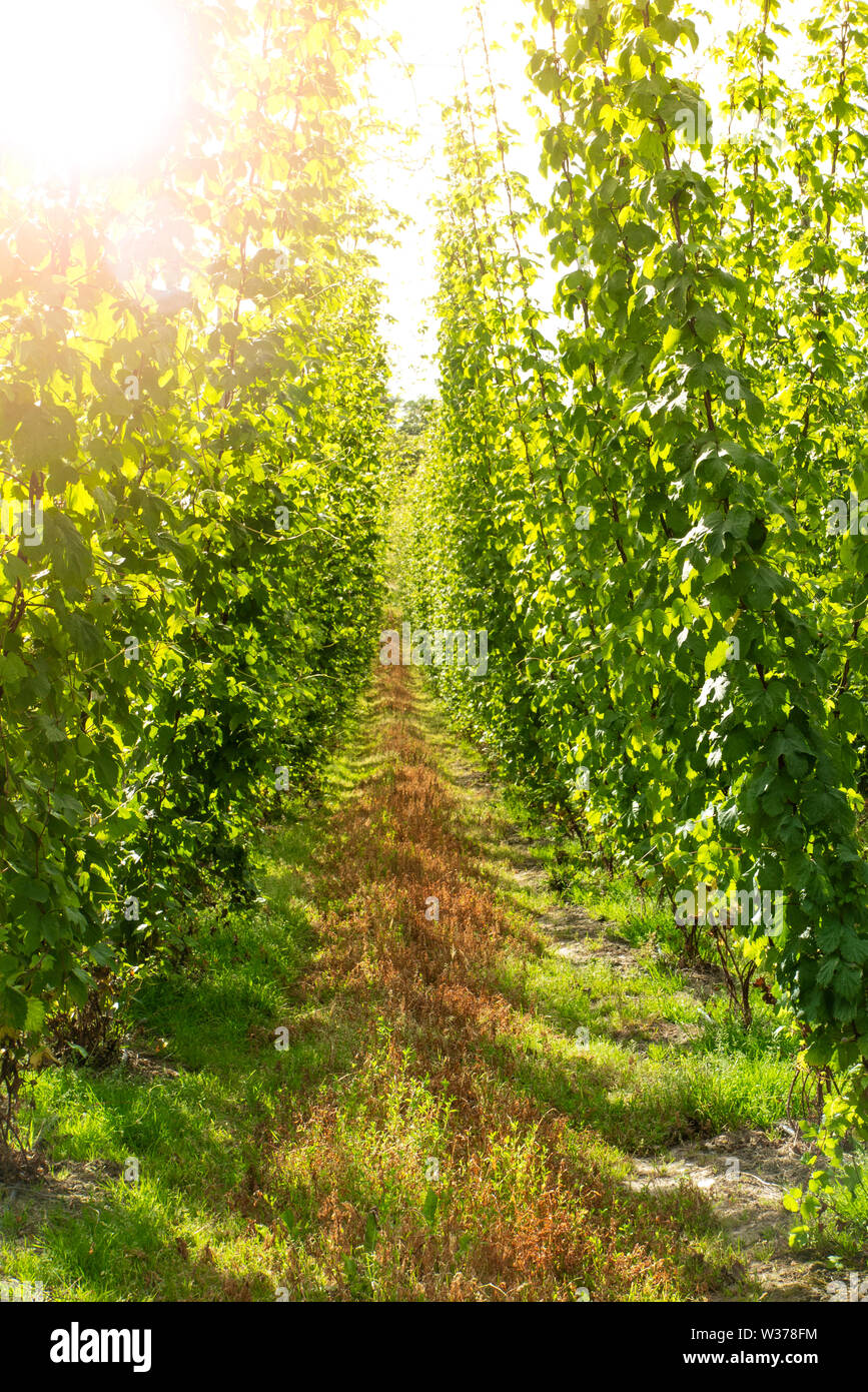 Hops growing in the summer in a Kentish hop garden, England - Stock Image