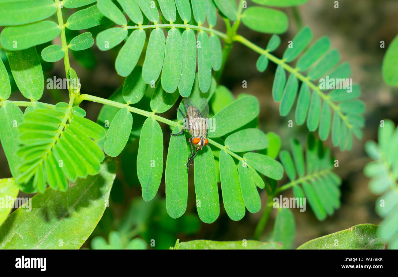 close up of common house fly sitting on green leaves,house fly in a garden. - Stock Image