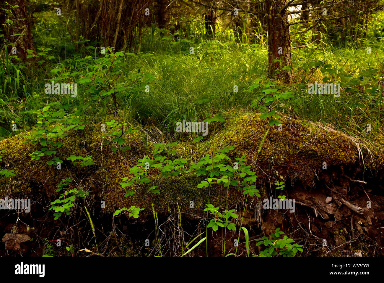 Lush undergrowth in the forest of southern British Columbia in the Cariboo region. Taken at 4:14 PM Stock Photo