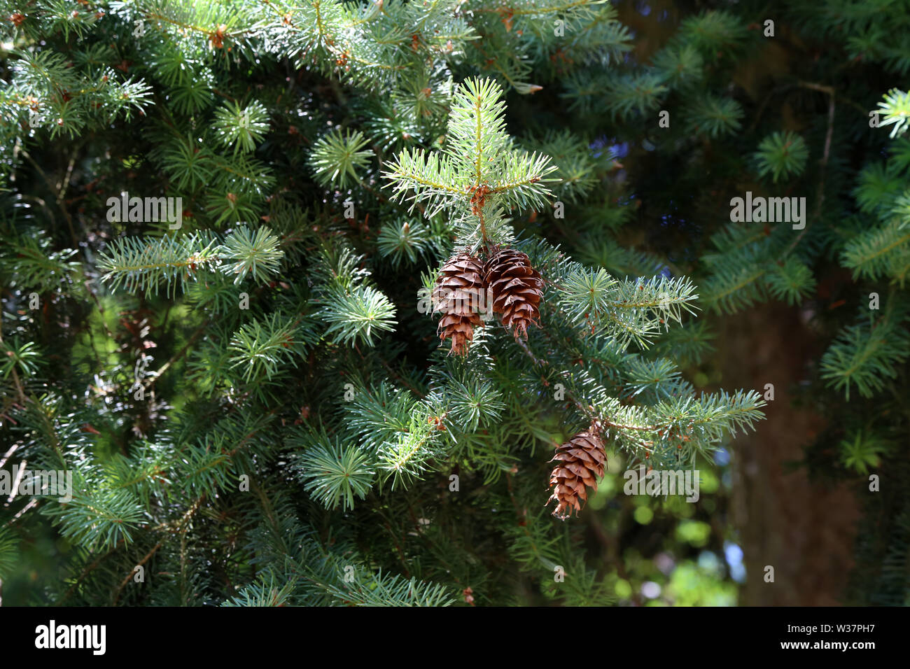 Green conifer with brown cones in the forest. - Stock Image