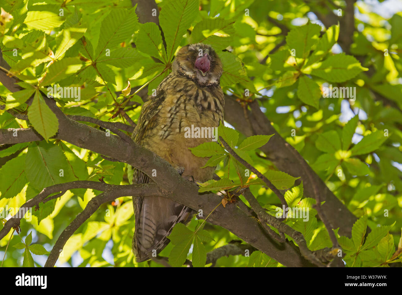 close up of yawning owl on branch of chestnut tree - Stock Image