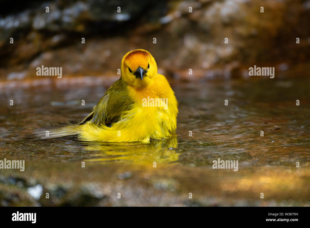 Singapore, Jurong Bird Park. Taveta Golden Weaver (Ploceus castaneiceps) in pool bathing. Native to Africa in Kanya and Tanzania. - Stock Image