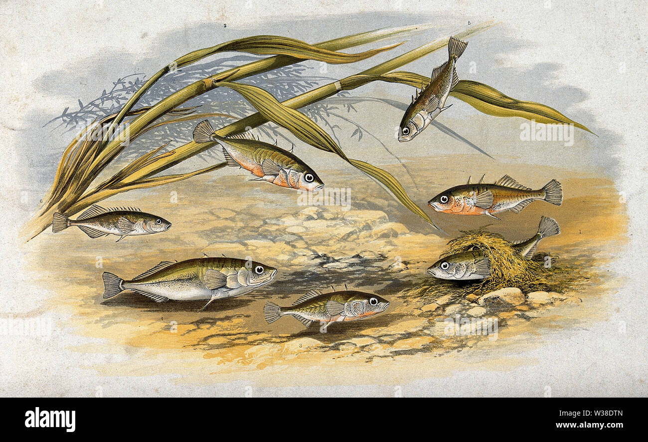 A variety of sticklebacks (Gasterosteus aculeatus) swimming on the bottom of the sea. Coloured lithograph. - Stock Image