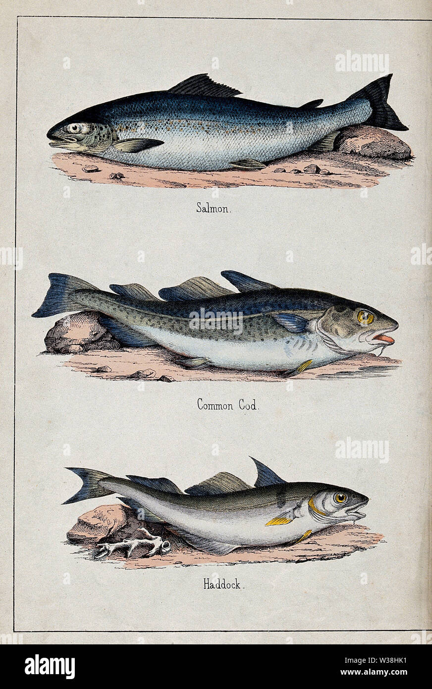 Above, a salmon; middle, a common cod; below, a haddock. Coloured lithograph. - Stock Image