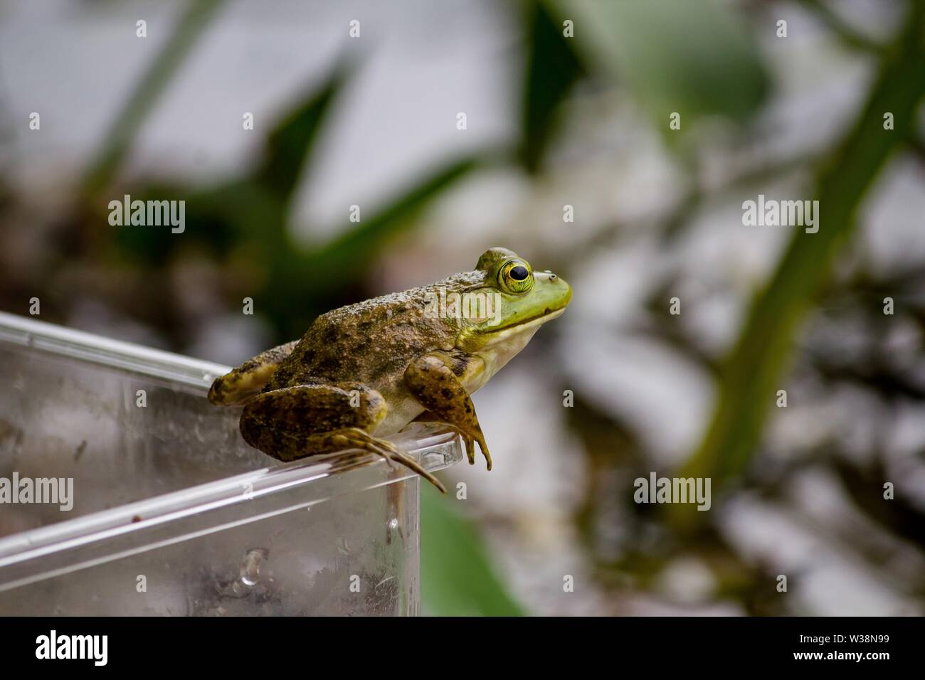 A closeup of a frog standing on a jar with natural blurred background - Stock Image