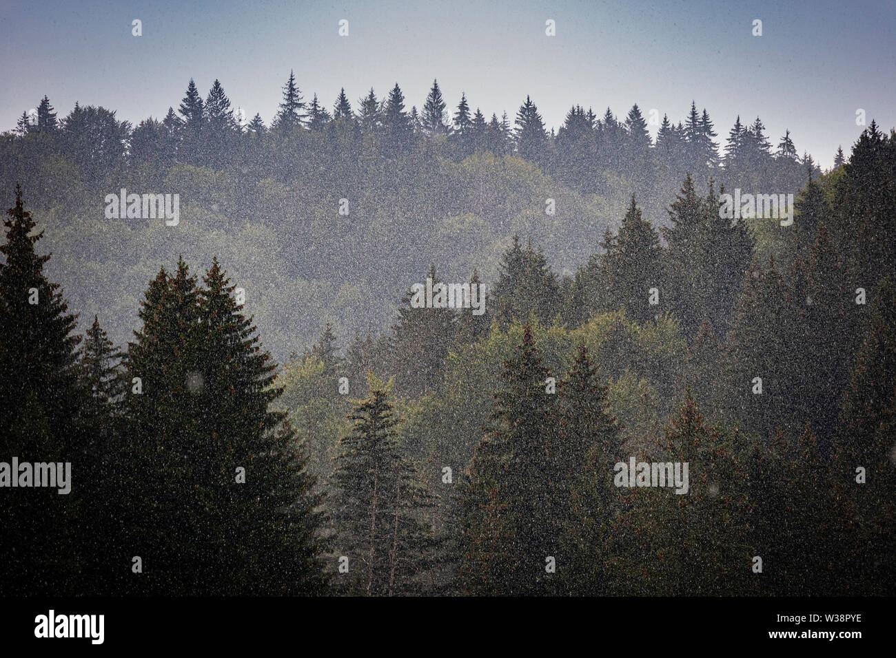 A strong hailstorm over a coniferous forest in eastern europe - Stock Image
