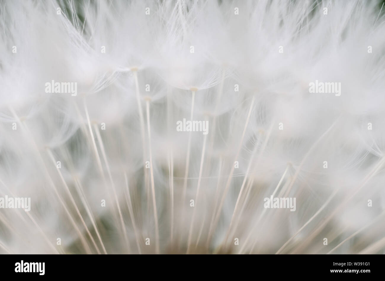 Taraxacum officinale, Crepidinae, Asteraceae, macro photograph of a dandelion flower with focus on the seeds Stock Photo