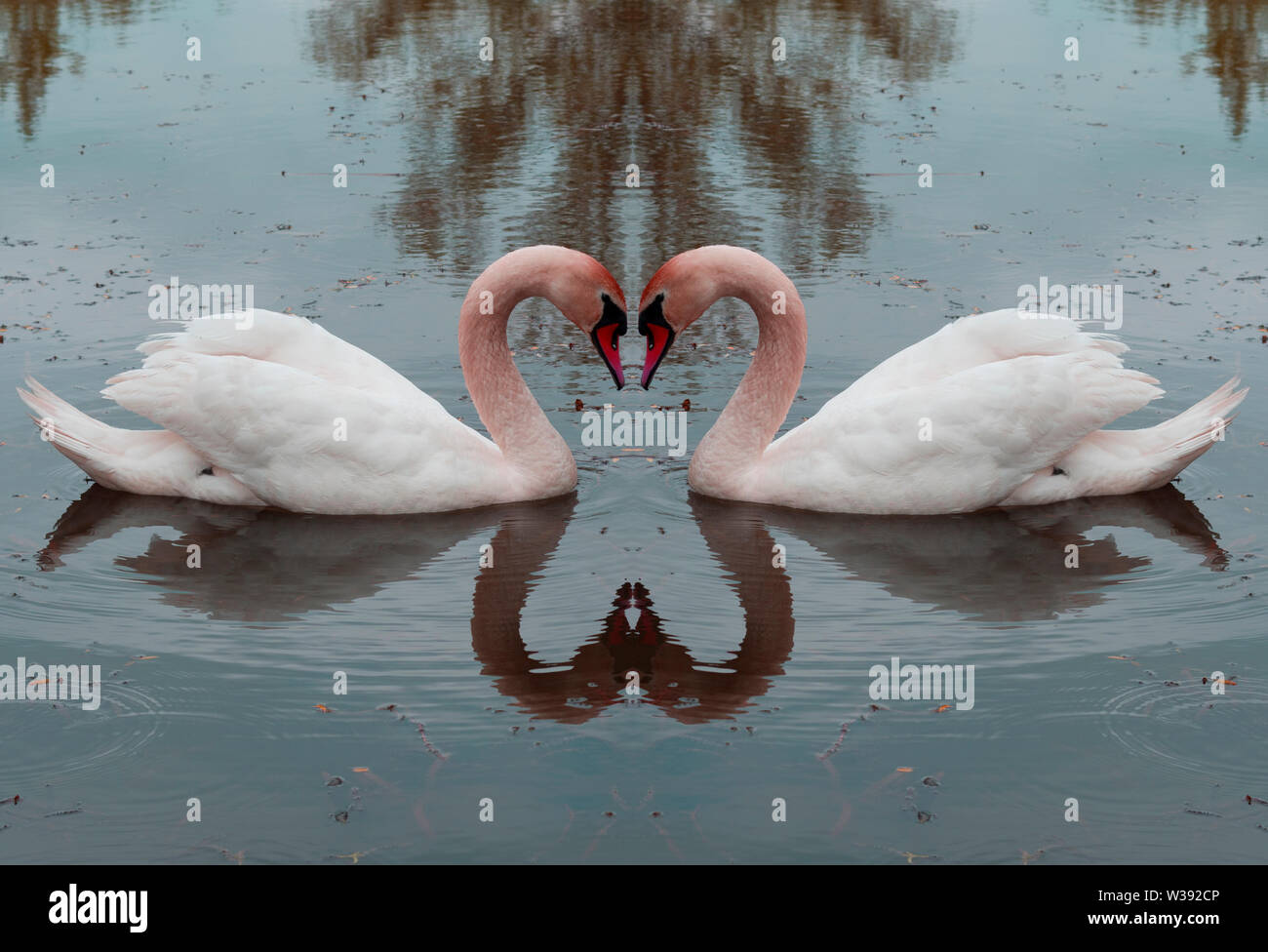 Swans - Love - Heart. Swan on water mirror image. Tender rendition of love, partnership and happiness. Stock Photo