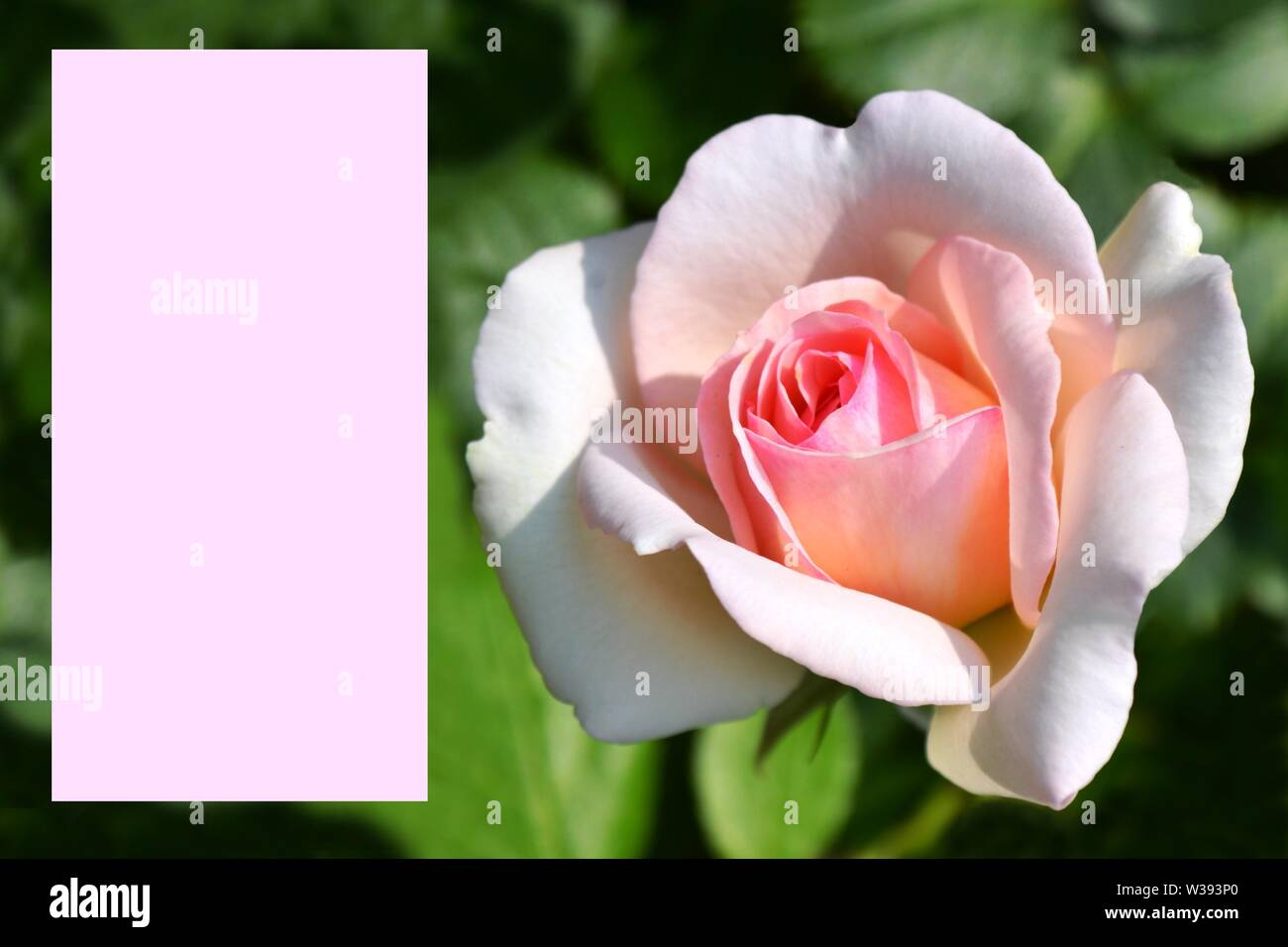 Greeting card with pink rose image on the right side on green background and pink frame for writing. Stock Photo