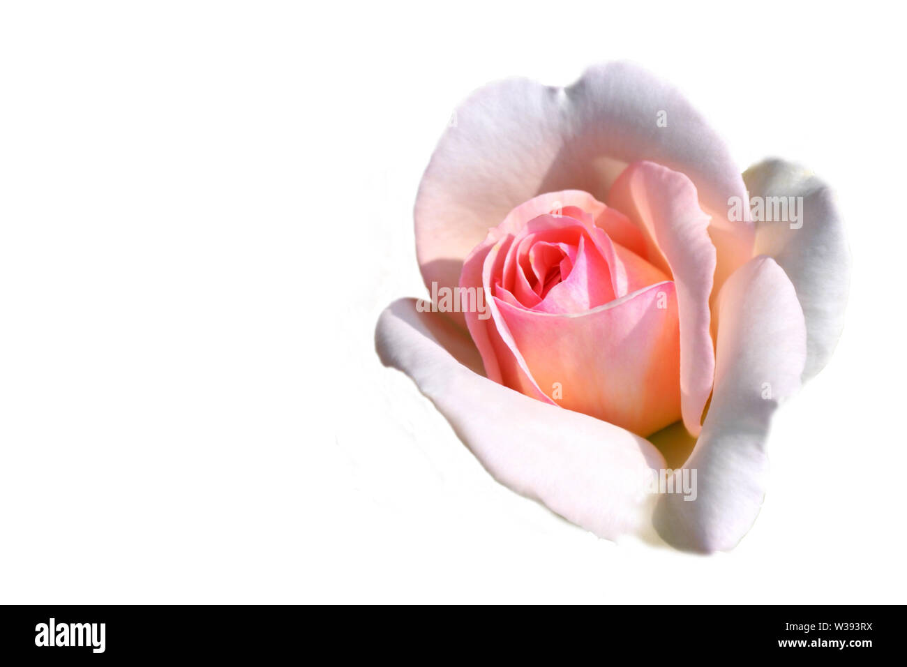 Greeting card with pink rose image on the right side on white background and copyspace for writing. Stock Photo