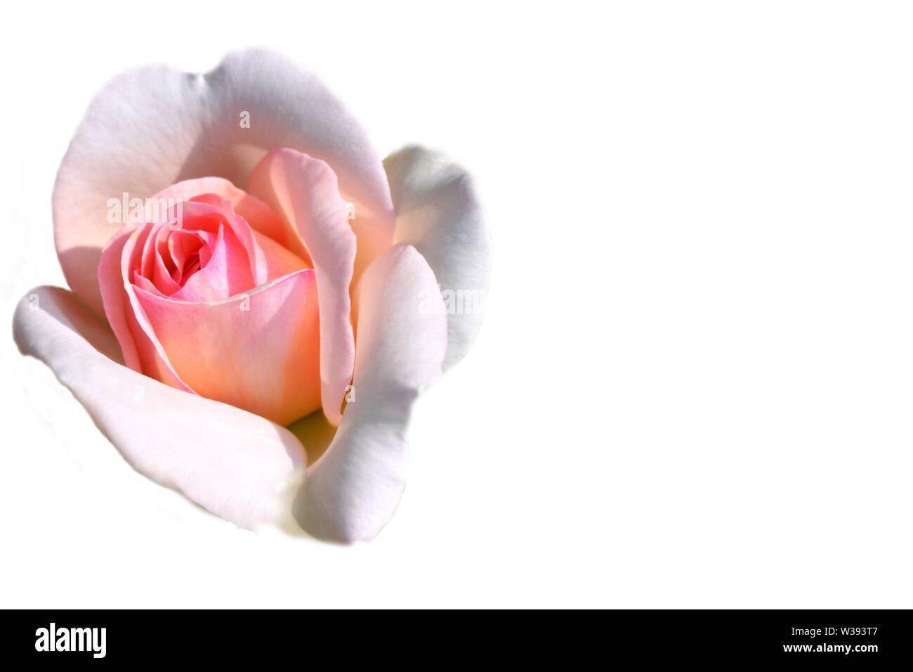 Greeting card with pink rose image on the left side on white background and copy space for writing. Stock Photo