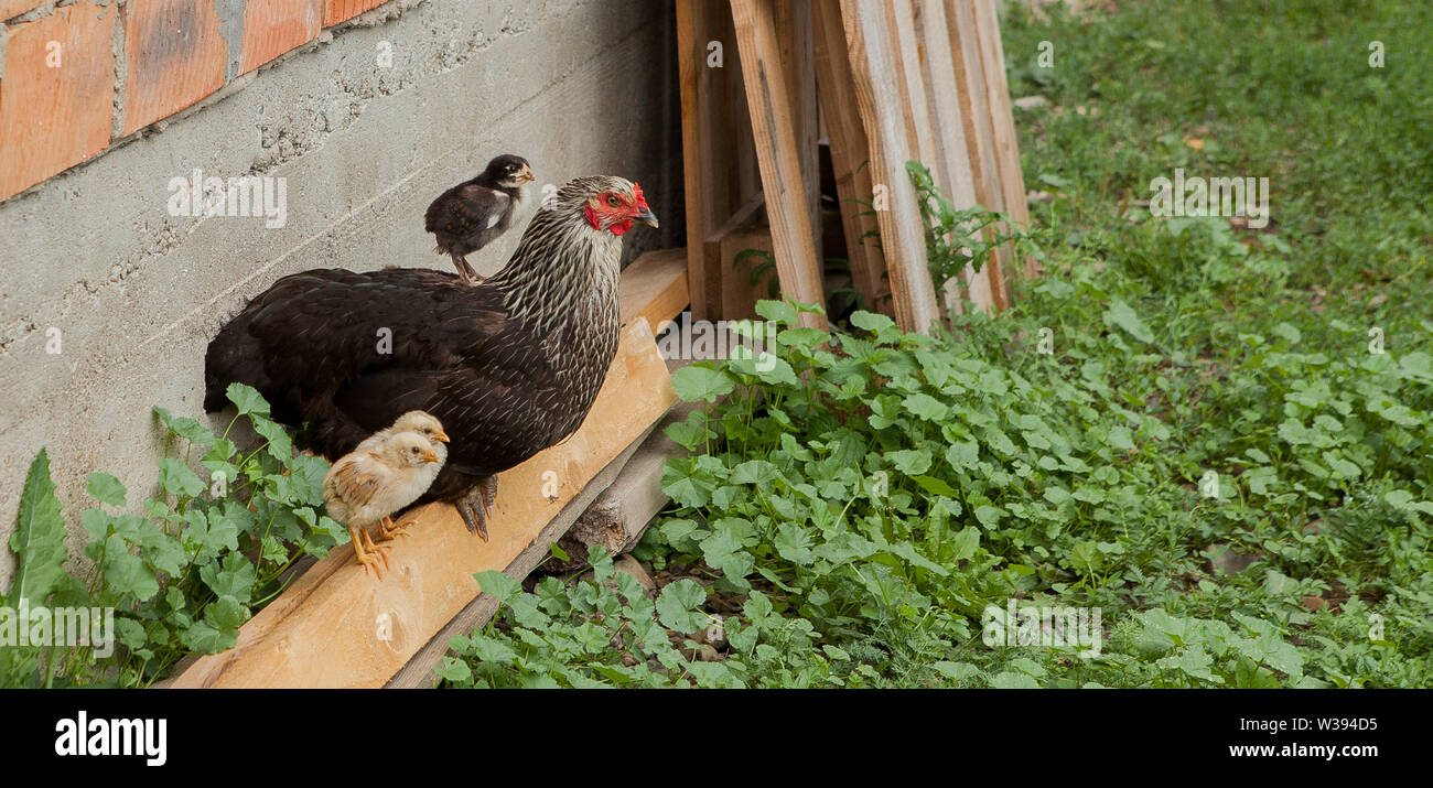 Hen alert over the chicken herd. Authentic farm series. - Stock Image