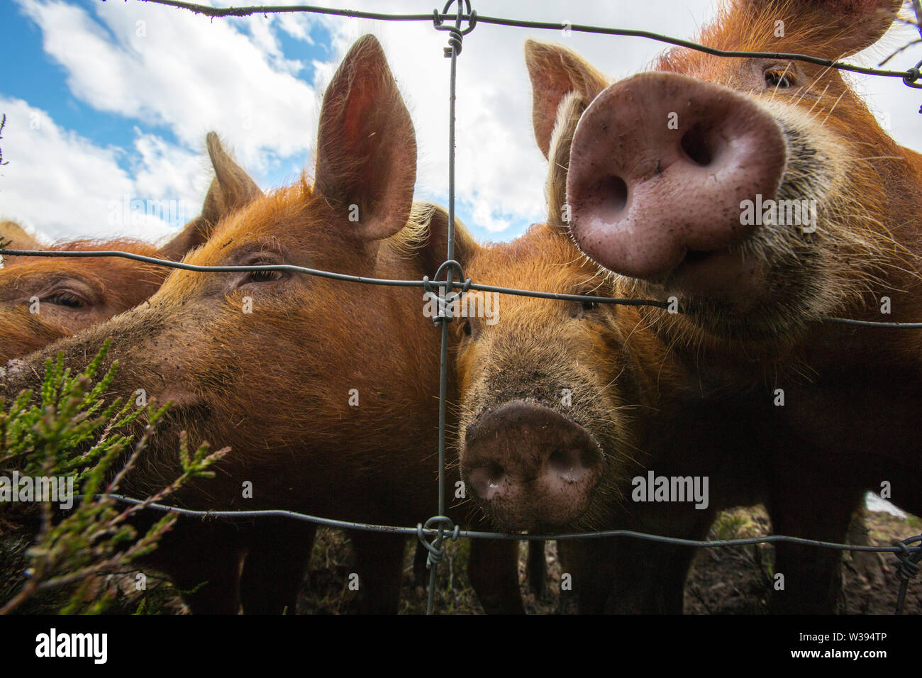Free range Tamworth Pigs in Glen Affric by Affric Lodge, Highlands, Scotland, UK. - Stock Image