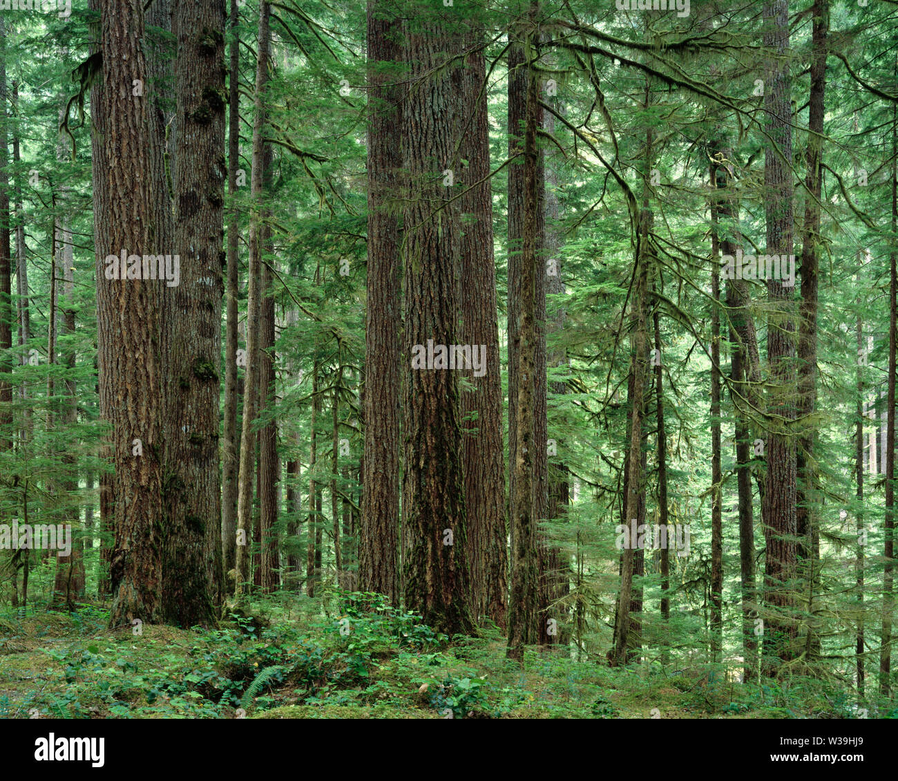 USA, Washington, Mt. Rainier National Park, Trunks of Douglas fir and western hemlock in old growth coniferous forest; Ohanepecosh Valley. - Stock Image