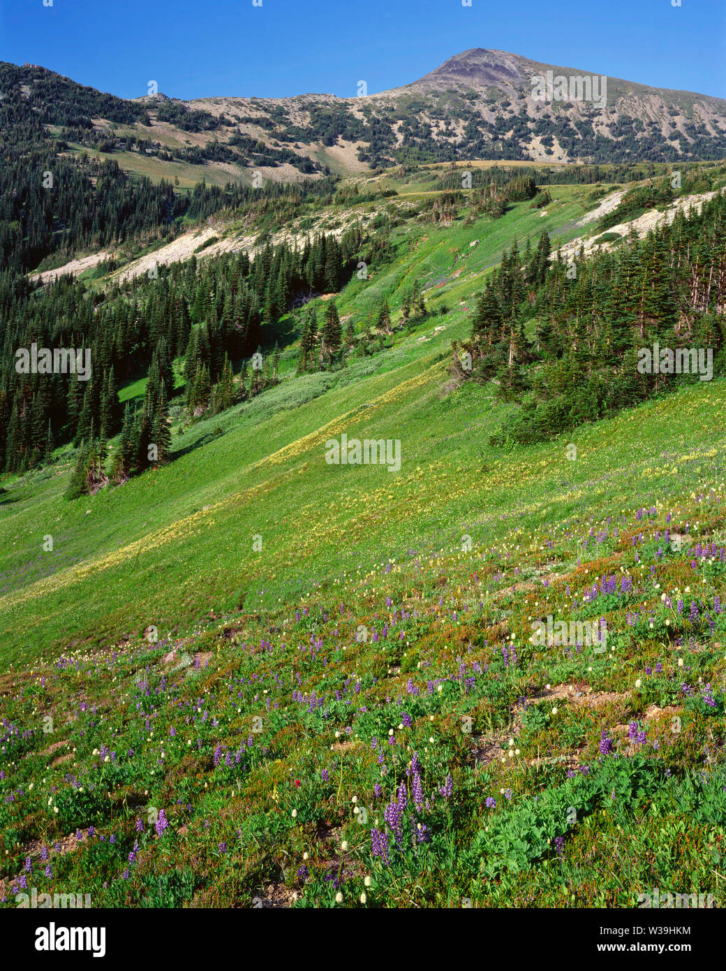 USA, Washington, Mt. Rainier National Park, Wildflower meadow and evergreen trees at Berkeley Park beneath Mt. Fremont. - Stock Image