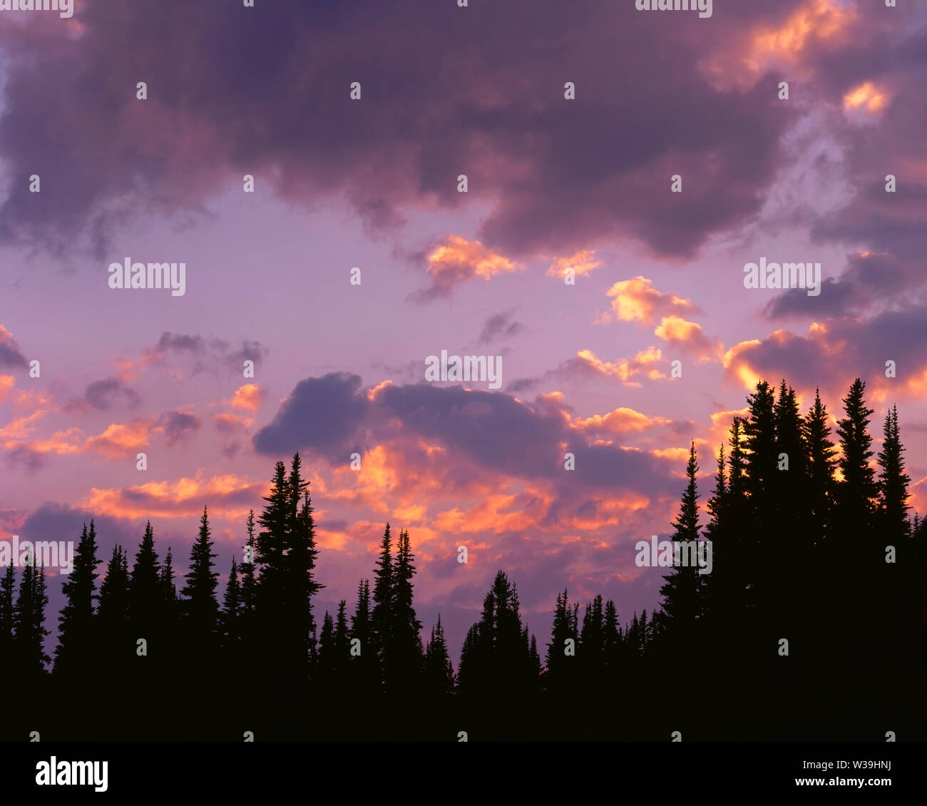 USA, Washington, Mt. Rainier National Park, Sunset adds color to parting clouds and silhouettes subalpine firs; Sunrise area. Stock Photo