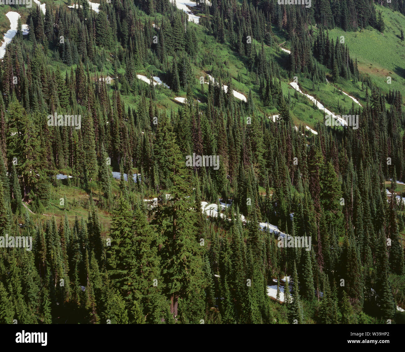 USA, Washington, Mt. Rainier National Park, Upper elevation evergreens on south flanks of Mt. Rainier with lush meadows and lingering snow. - Stock Image