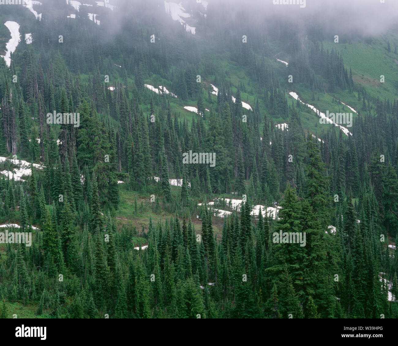 USA, Washington, Mt. Rainier National Park, Fog drifts among evergreens on south flanks of Mt. Rainier with lush meadows and lingering snow. Stock Photo