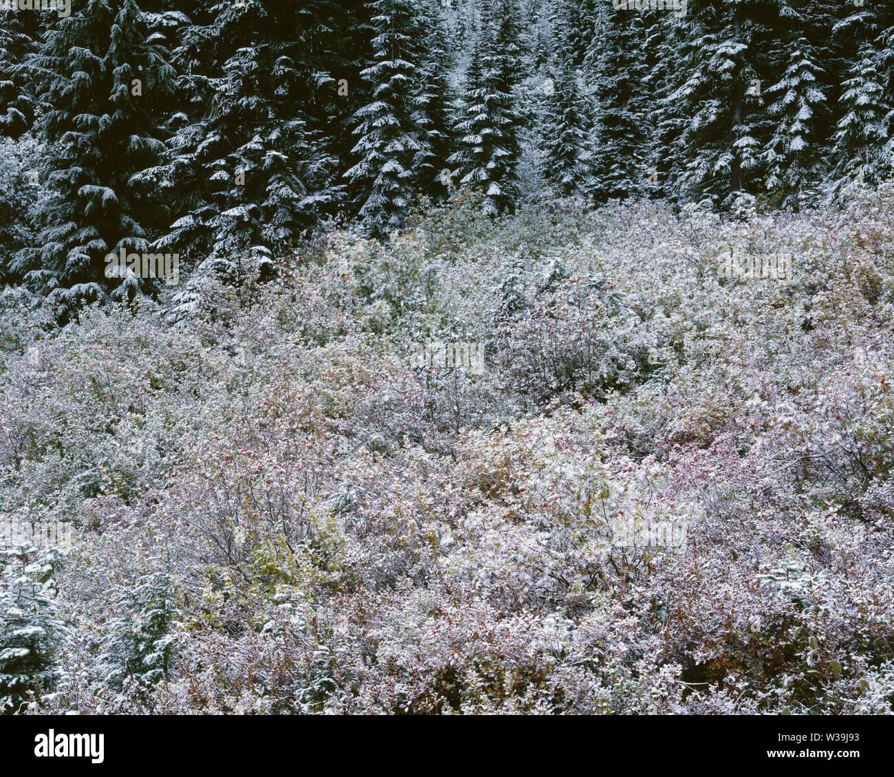 USA, Washington, Mt. Rainier National Park, Early autumn snow on fall colored mountain ash and huckleberry near edge of evergreen forest. Stock Photo