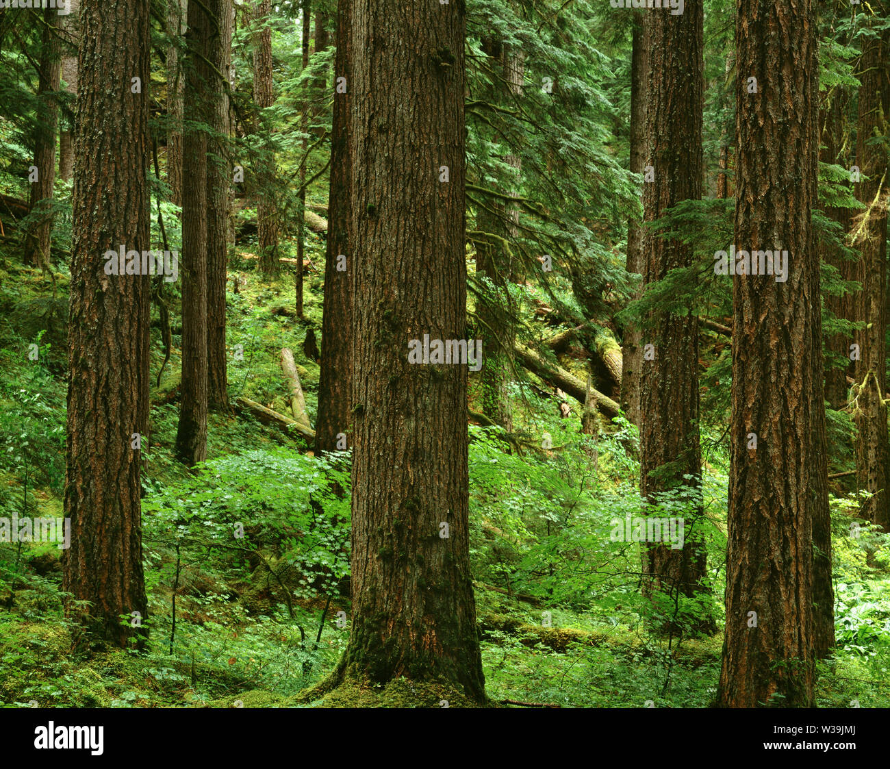 USA, Washington, Mt. Rainier National Park, Trunks of Douglas fir and western hemlock in old growth coniferous forest; Ohanepecosh Valley. Stock Photo