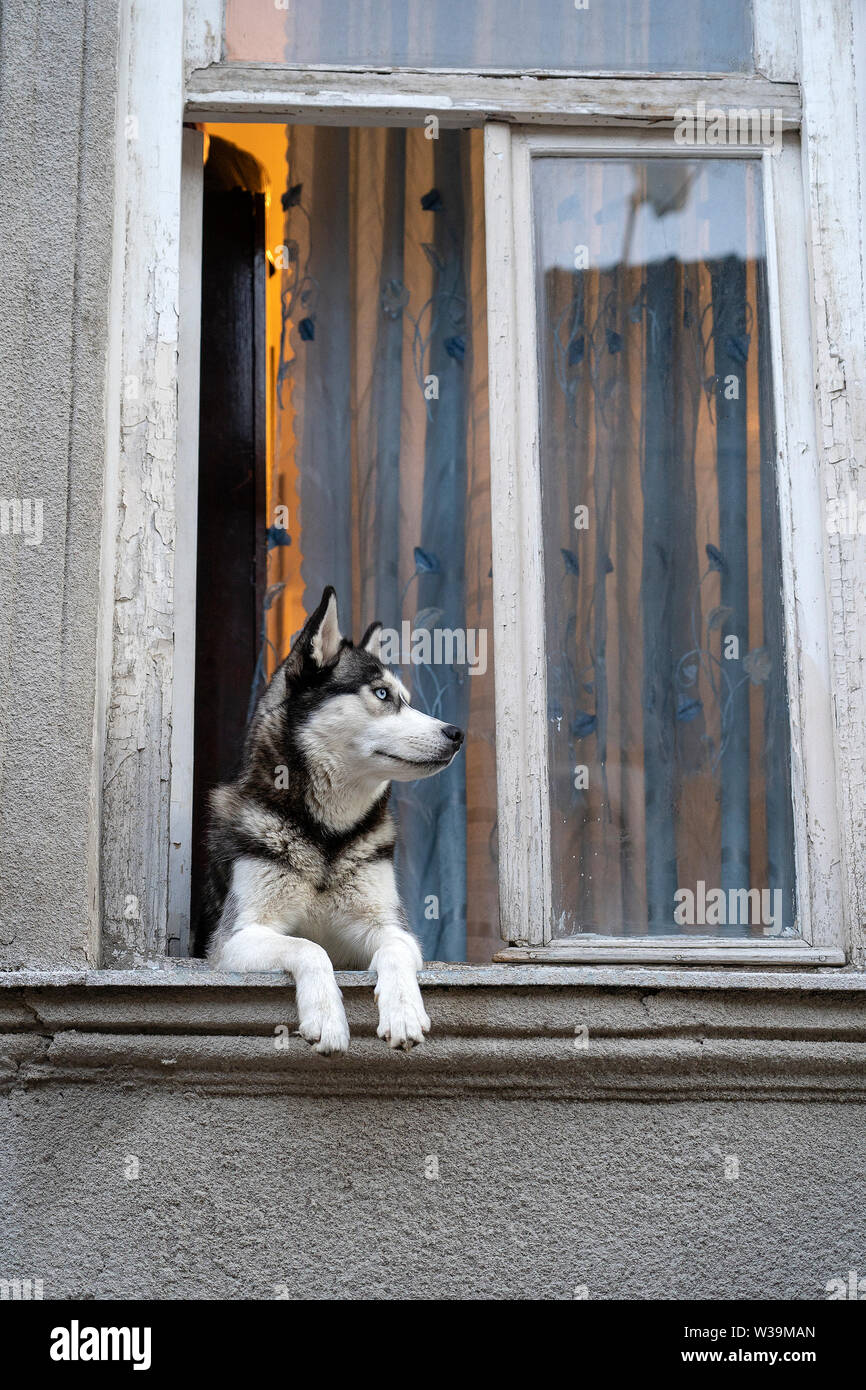 Siberian husky dog with blue eyes sits in the window and waits for the owner, close up - Stock Image