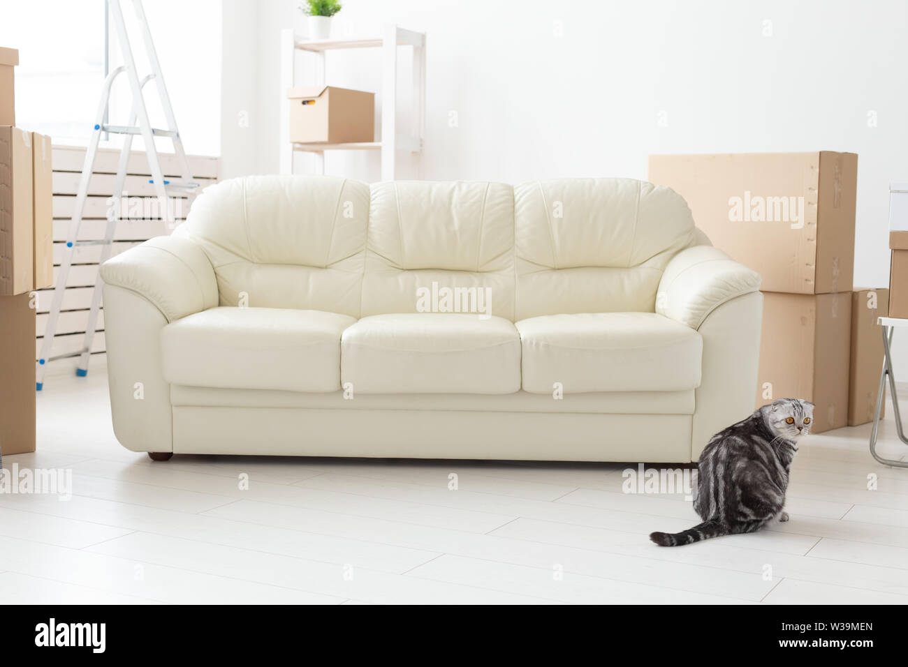 Beautiful gray scottish fold cat sits near a new empty sofa while moving to a new apartment. Concept of housewarming and good tradition with a cat. - Stock Image