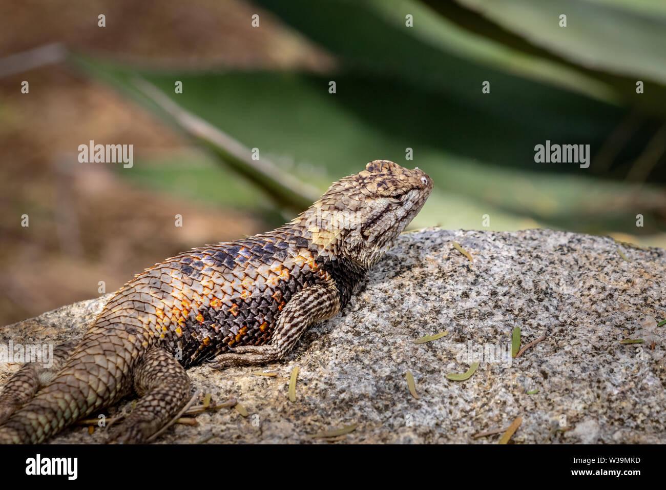 A Desert spiny lizard warms itself in the morning sun. Phoenix Desert Botanical Garden, Arizona, USA. Stock Photo