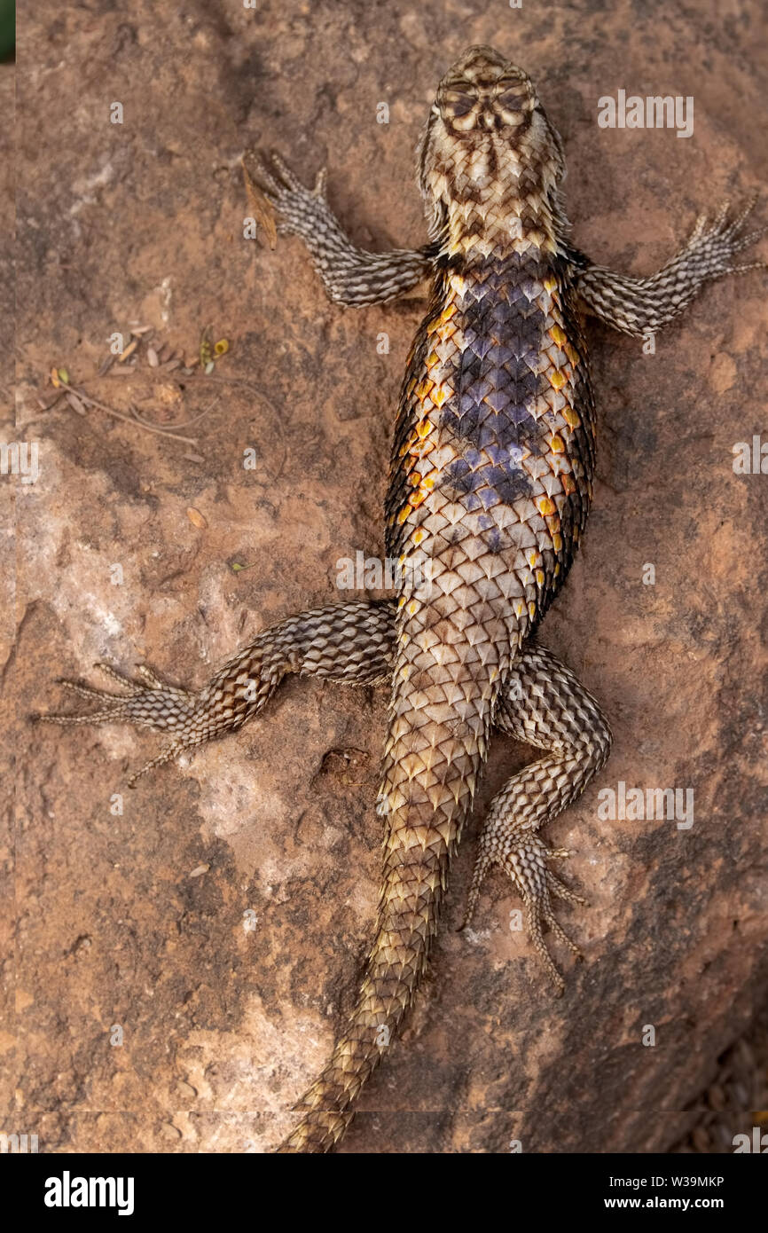 A Desert spiny lizard warms itself in the morning sun. Phoenix Desert Botanical Garden, Arizona, USA. Stock Photo