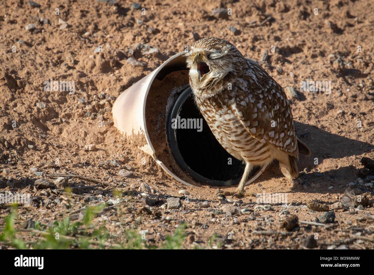 Burrowing owl yawning outside of its artificial nest burrow, Zarenjo Park, Arizona. - Stock Image