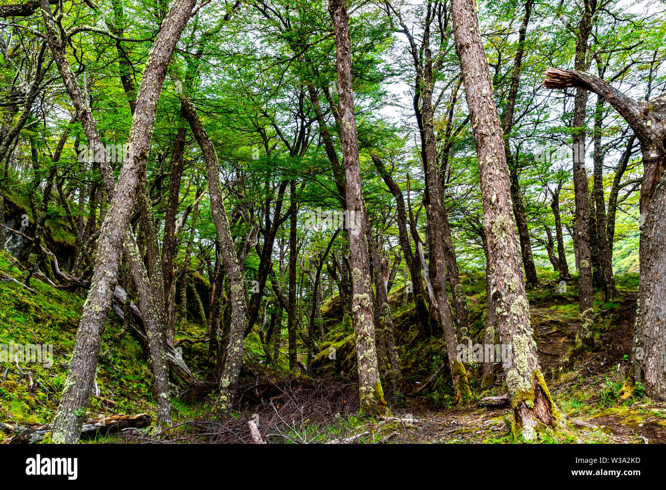 View of forest at Los Glaciares National Park in Argentine Patagonia - Stock Image