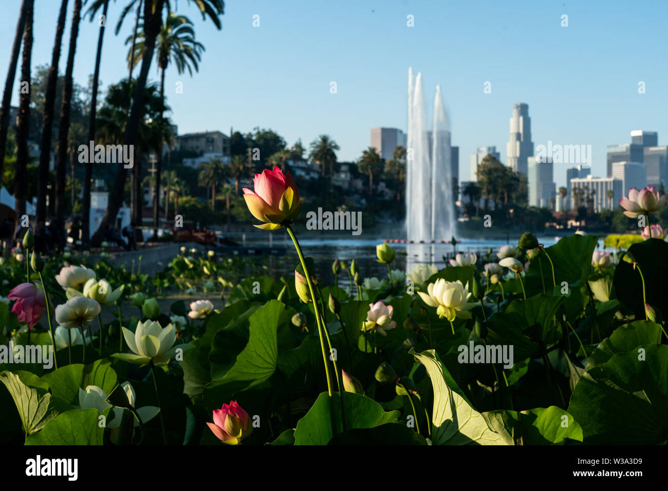 Los Angeles, USA. 13th July, 2019. Lotus flowers are seen during the 2019 Lotus Festival in Los Angeles, the United States, July 13, 2019. Credit: Qian Weizhong/Xinhua/Alamy Live News Stock Photo