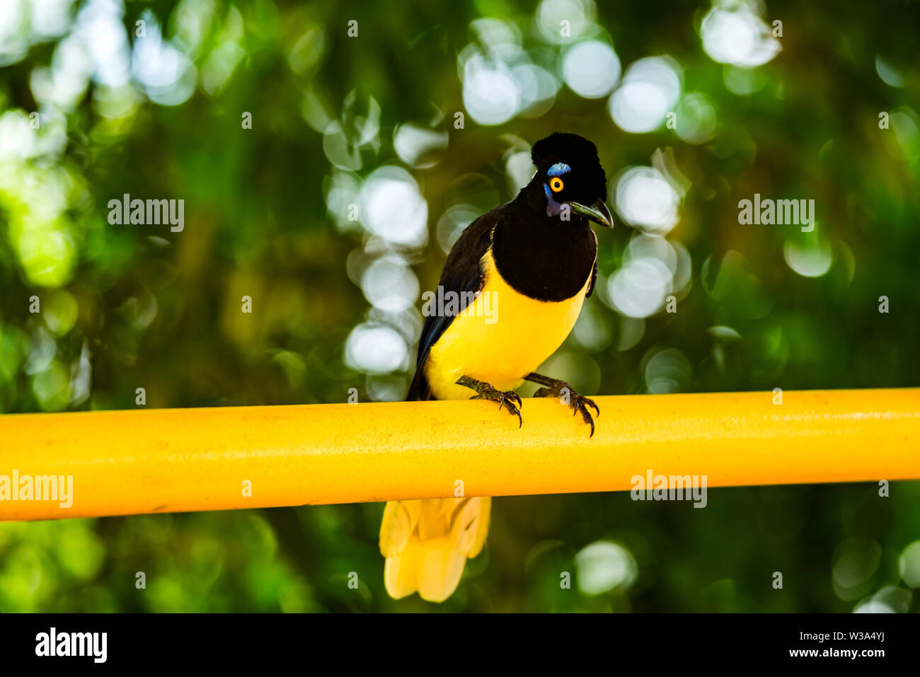 Plush-crested jay bird on the yellow material at the Brazilian side of Iguazu Waterfalls - Stock Image