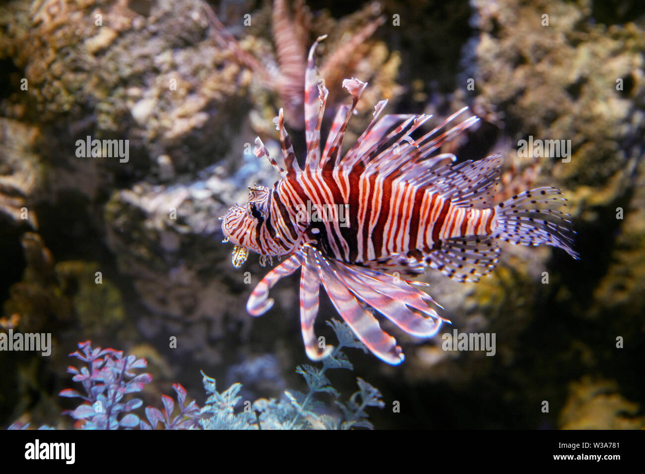 Captive Red Lionfish (Pterois volitans), a venomous coral reef fish.  Dream Aquarium at OCT Harbour. Shenzhen, Guangdong Province, China. - Stock Image