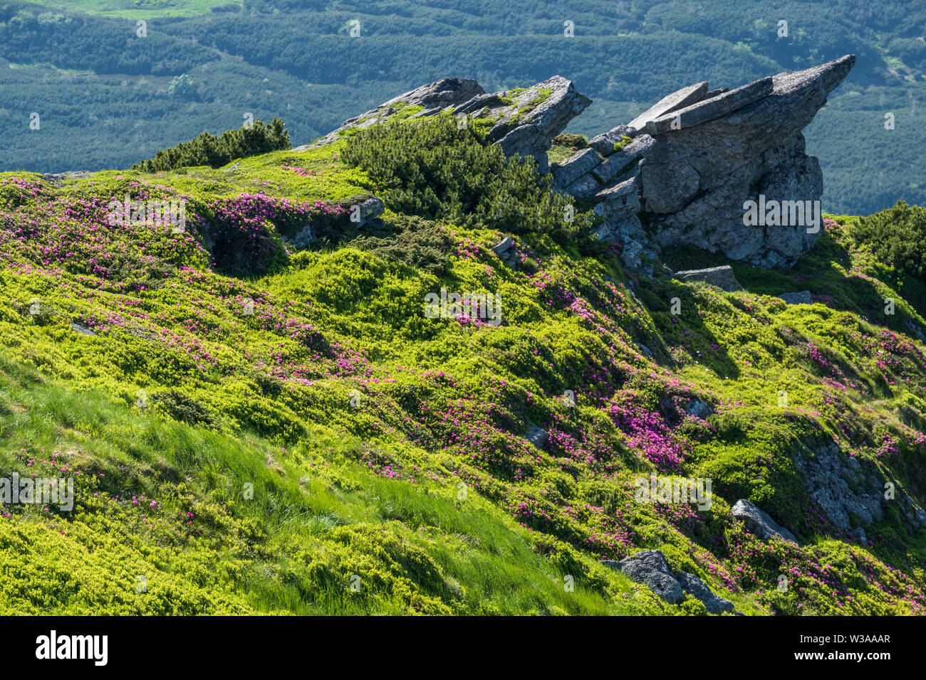 Pink rose rhododendron flowers and big rocky boulders on summer mountain slope. Carpathian, Chornohora, Ukraine. Stock Photo