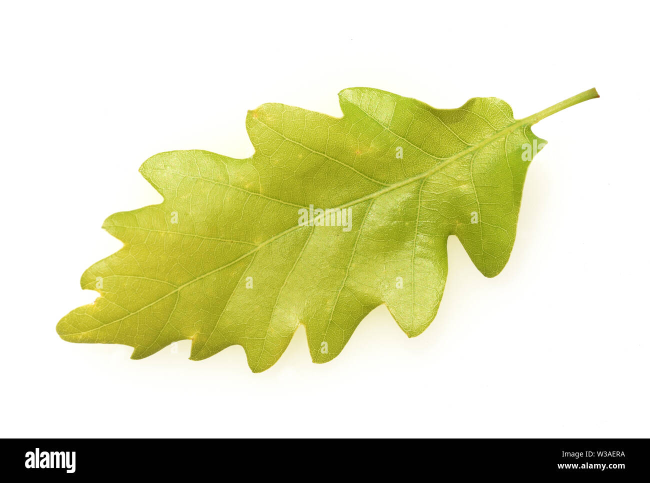 Eichenblatt, Eichen, Quercus, Robur Stock Photo