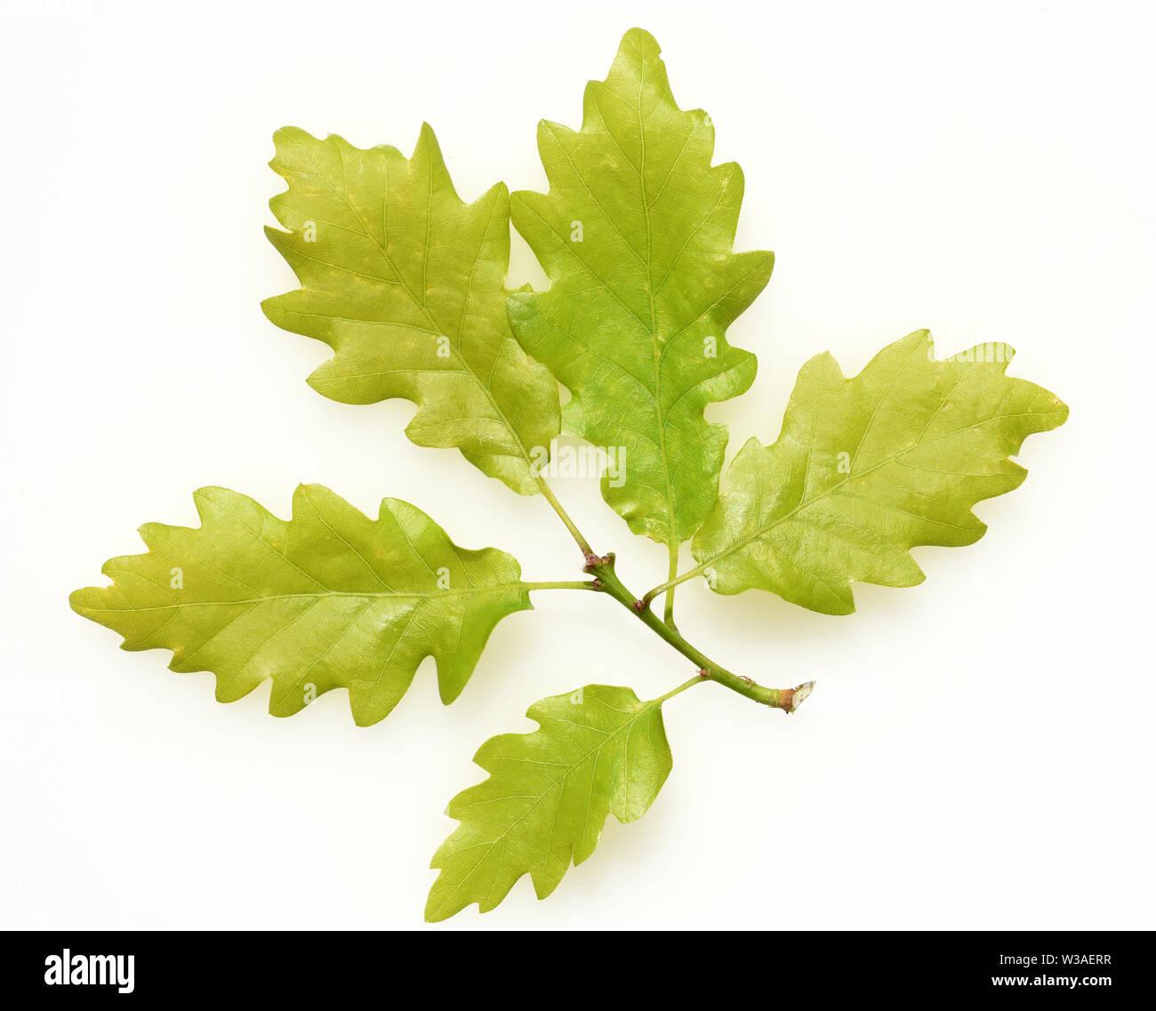 Eichenblatt, Eichen, Quercus, Robur Stock Photo