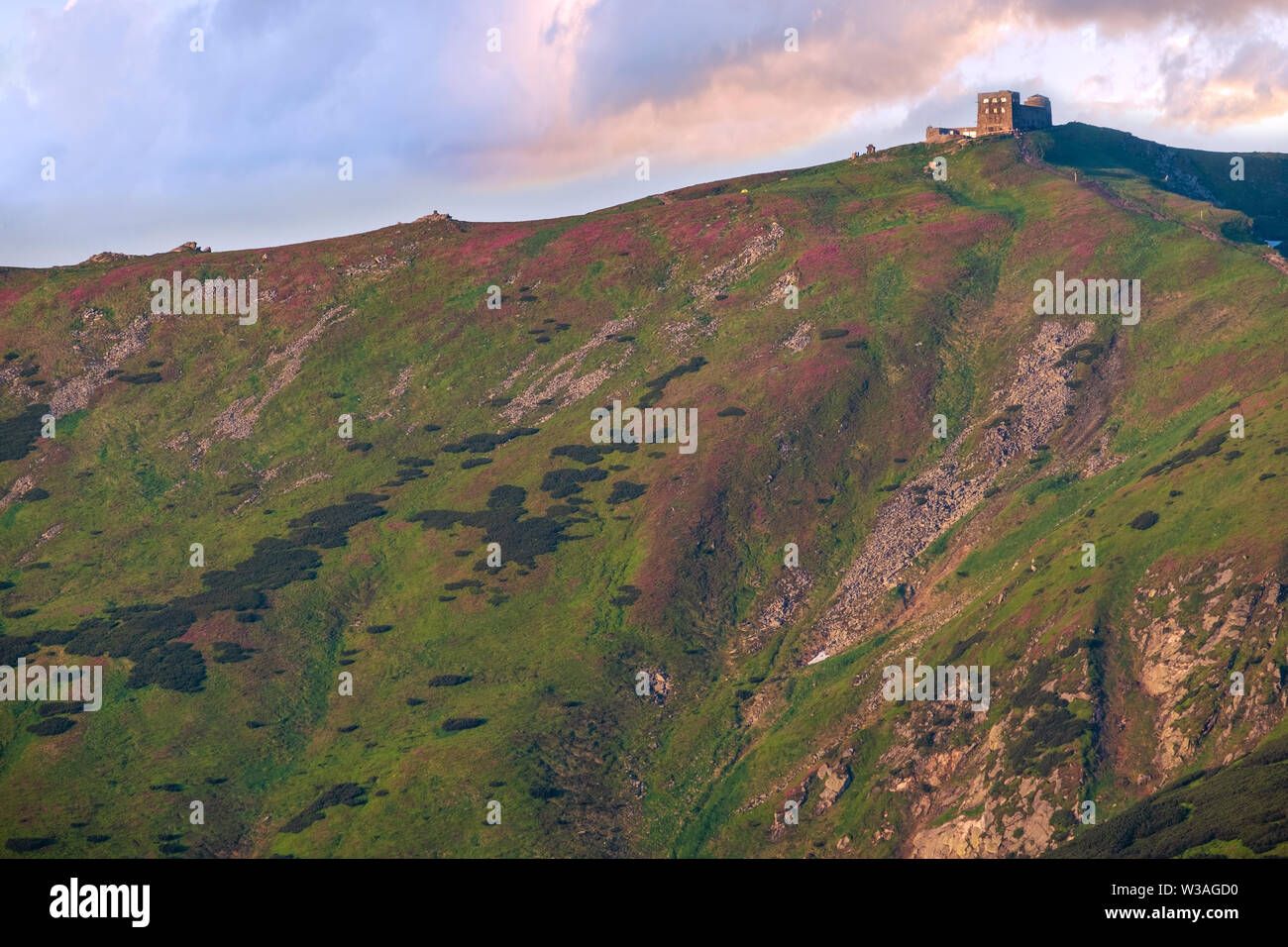 Massif of Pip Ivan with the ruins of the observatory on top. Pink rhododendron flowers on summer sunrise mountain slope, Carpathian, Chornohora, Ukrai - Stock Image