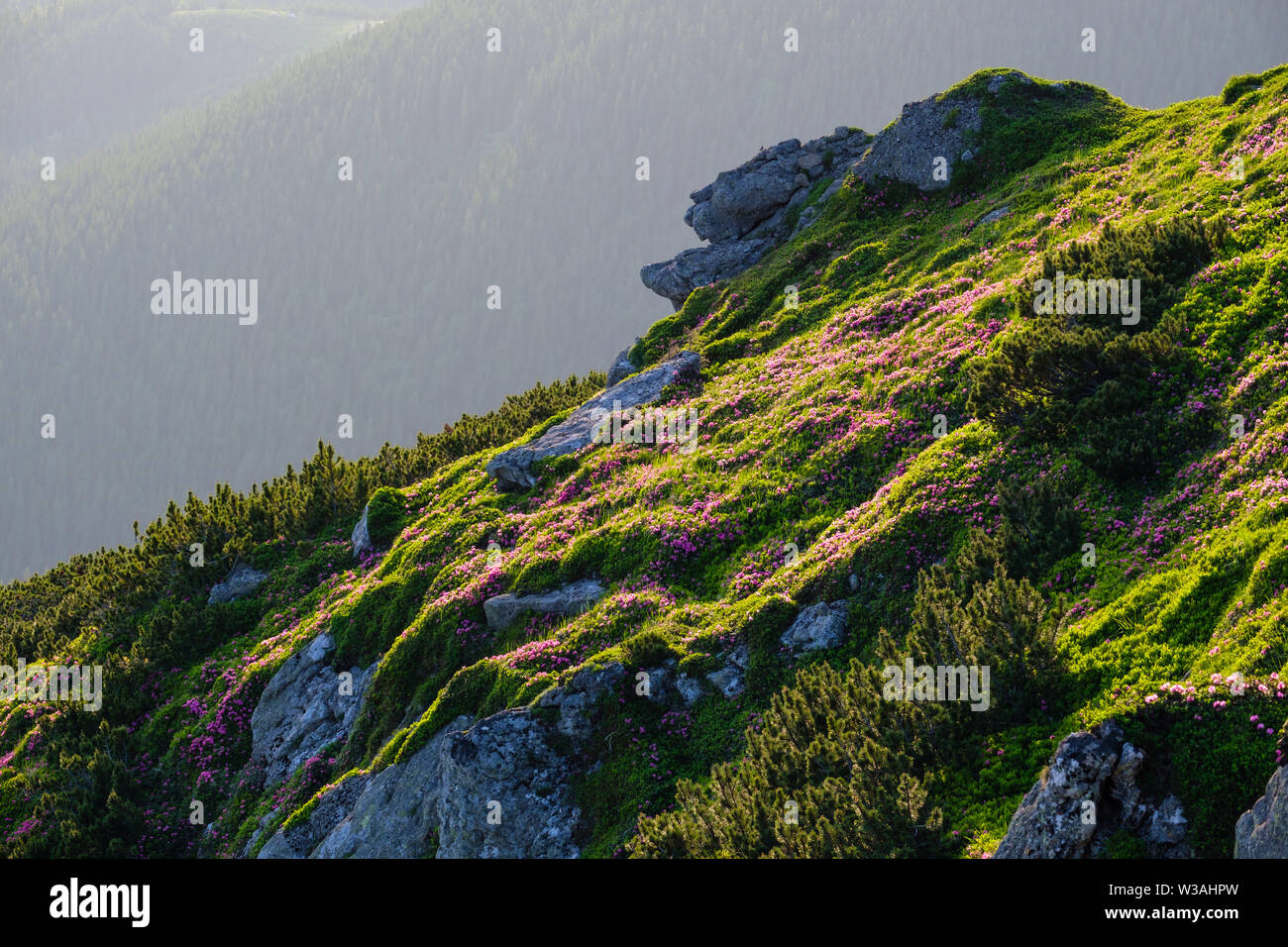 Pink rose rhododendron flowers and big rocky boulders on summer mountain slope. Carpathian, Chornohora, Ukraine. - Stock Image