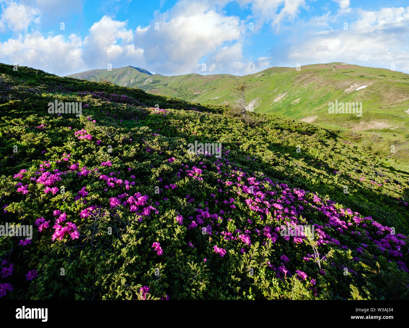 Pink rose rhododendron flowers on summer mountain slope. Carpathian, Chornohora, Ukraine. - Stock Image