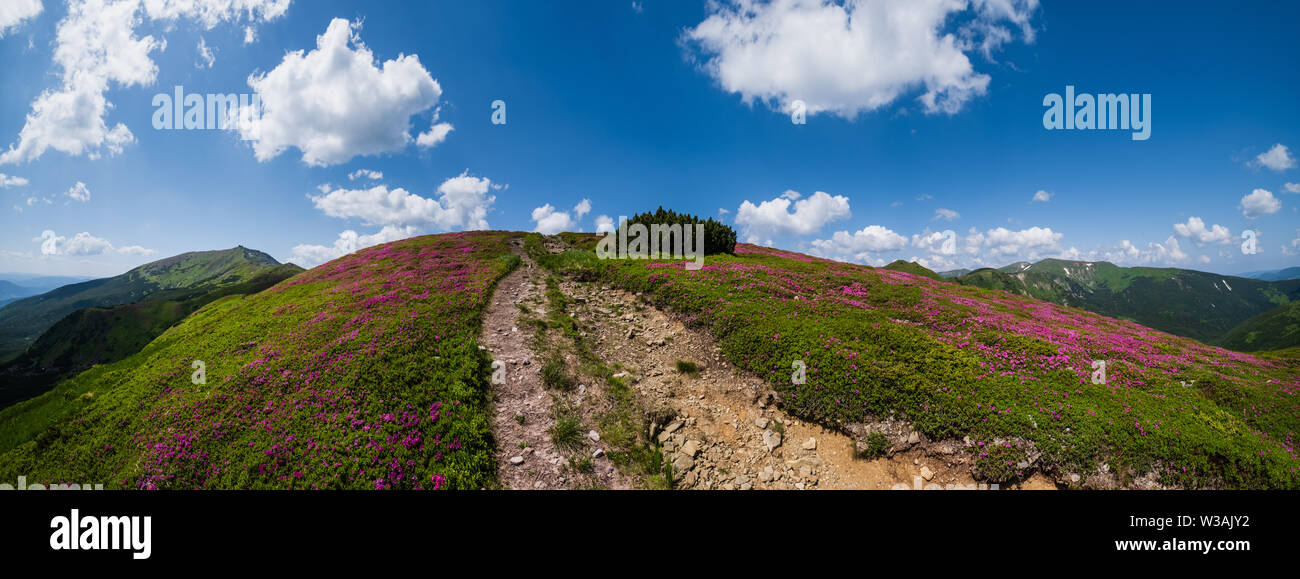 Blossoming slopes (rhododendron flowers) of Carpathian mountains, Chornohora, Ukraine. Summer. - Stock Image