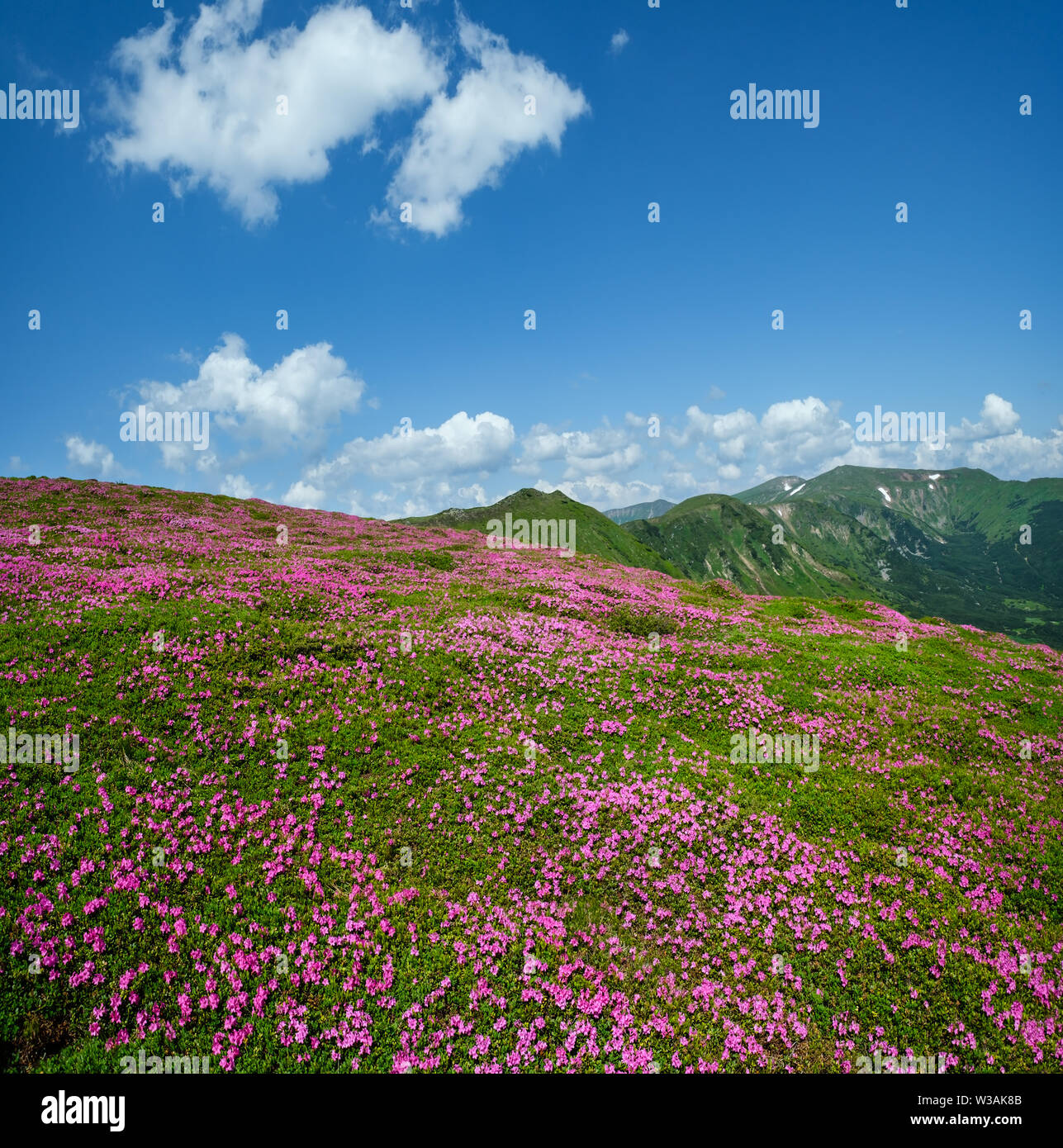 Blossoming slopes (rhododendron flowers ) of Carpathian mountains, Chornohora, Ukraine. Summer. - Stock Image