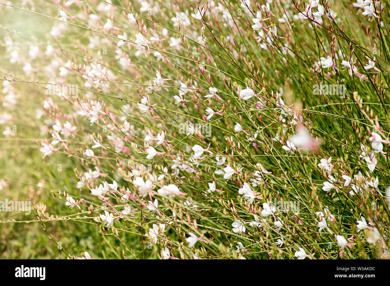 Pretty pink Gaura flowers blooming in summer, a popular garden perennial with a long flowering period and dainty star-shaped flowers Stock Photo